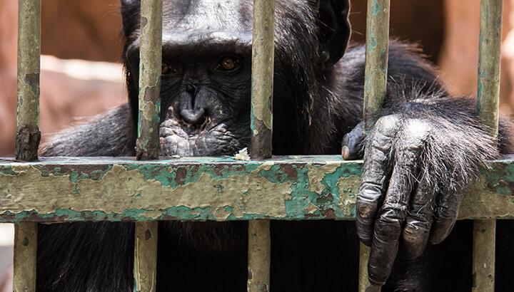 Animal testing chimpanzee