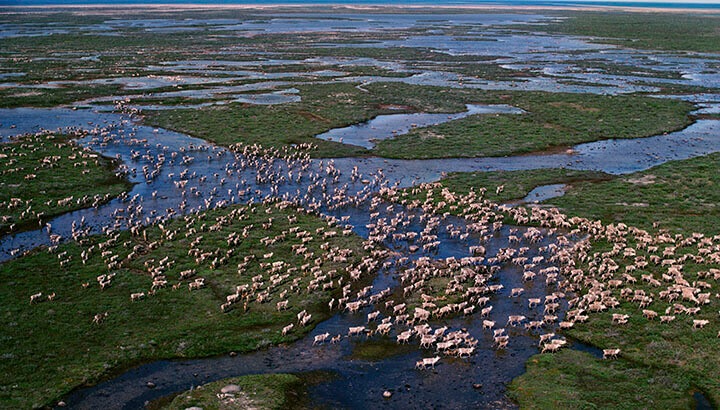 Caribou migrating across the tundra in summer, Hudson Bay. (Photo Courtesy: Bryan and Cherry Alexander, WWF Canada)