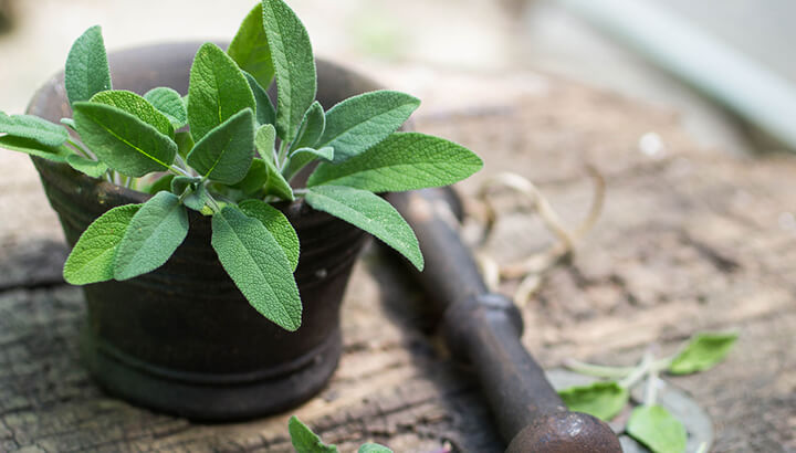 Sage has many health benefits