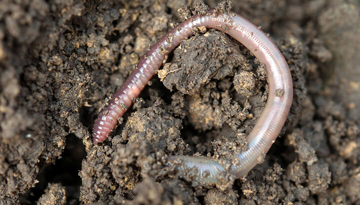 Worm in dirt