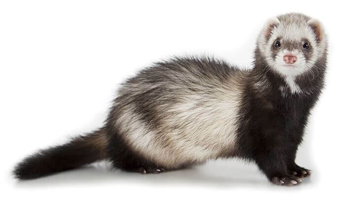Captive breeding programs helped the black-footed ferret
