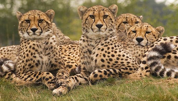 Cheetahs and giraffes are nearly extinct