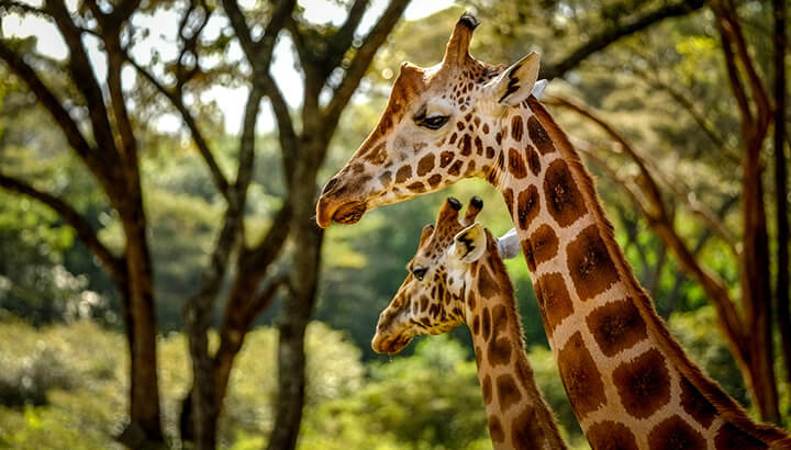 Cheetas and giraffes are important for biodiversity
