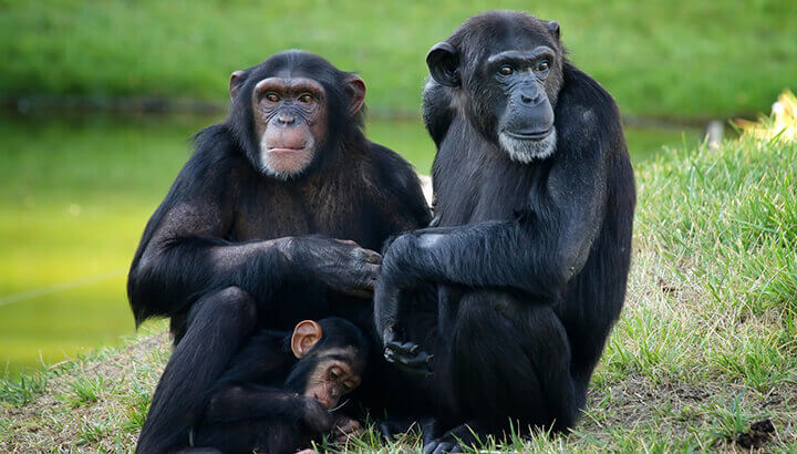 Chimpanzees are endangered in the wild