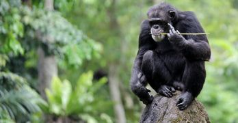 Chimpanzees have advanced tool-use