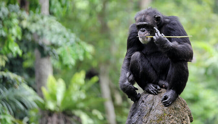 tool use in chimps Chimpanzees are unique in the animal kingdom in their ability to use a diverse.