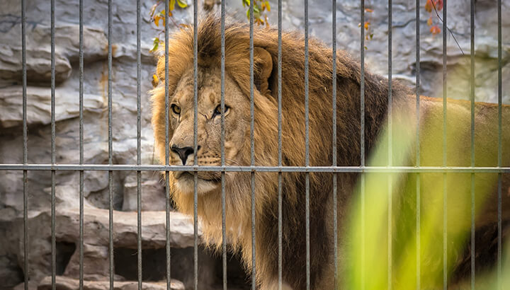 Copenhagen zoo killed four healthy lions