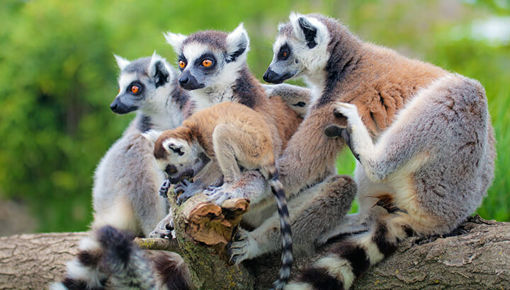 Lemurs may go extinct by 2050 if we don't help