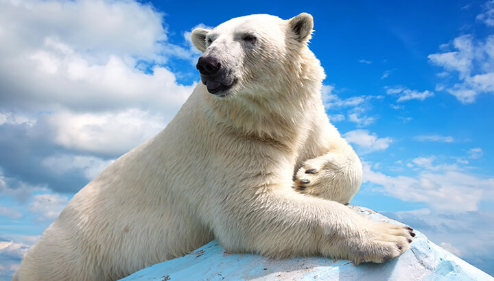 Polar bears may go extinct by 2050 if we don't help