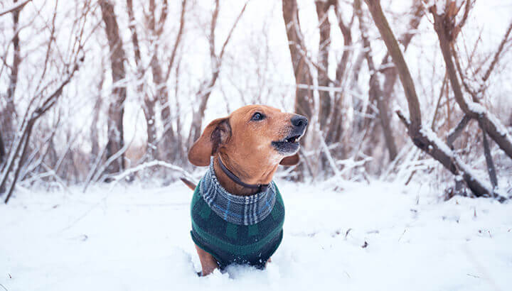 Small dogs may need clothes in the winter