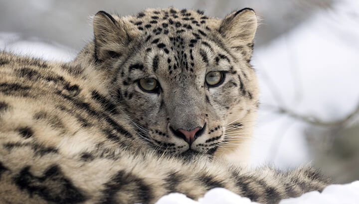 Snow leopards may go extinct by 2050 if we don't help