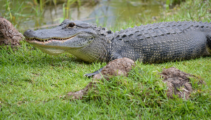Stay away from alligators and other wildlife