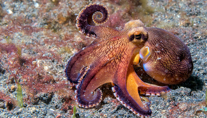 An octopus can feel physical pain the way that we do