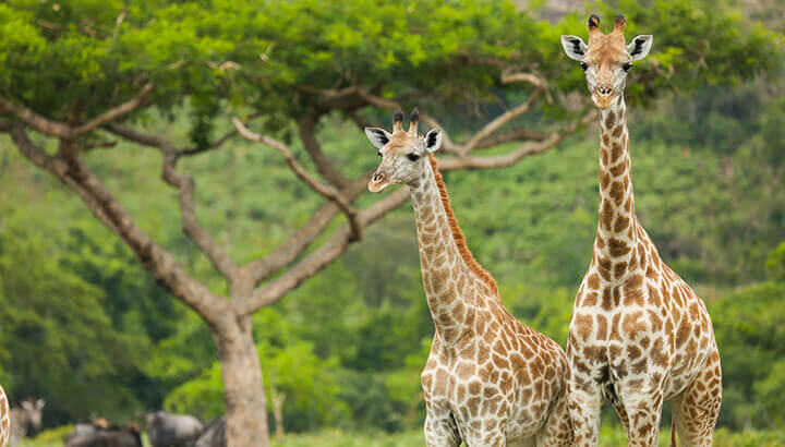 Giraffe milk cannot be commercialized because giraffes do not like to be milked