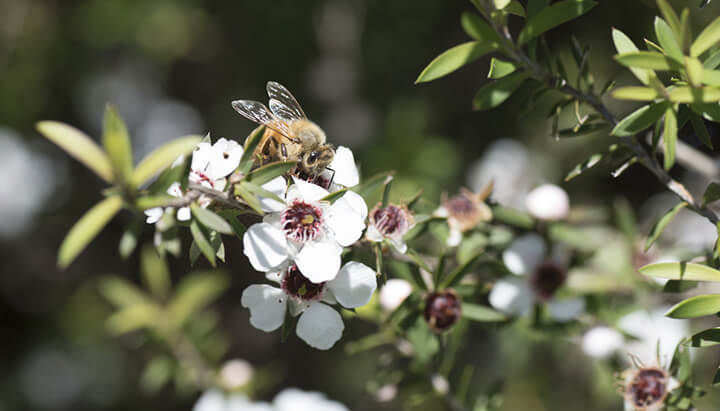 Not all manuka honey from manuka flowers contains beneficial properties.
