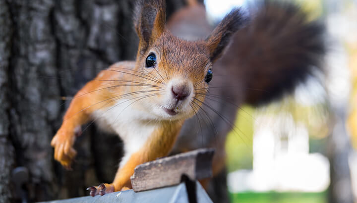 A wild squirrel does not normally make a house pet — not to mention an alarm system.