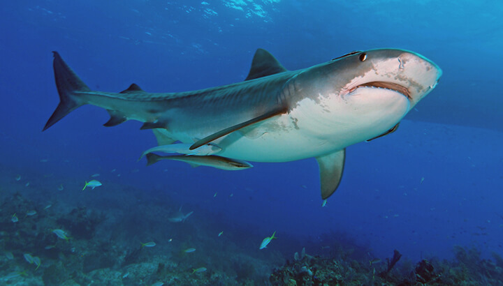 Tiger sharks help keep marine ecosystems in balance, which directly impacts climate change.