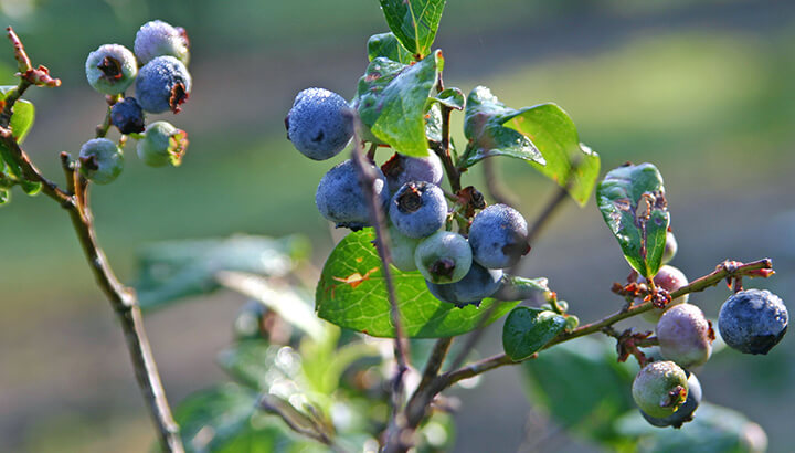 Organic blueberries will be grown without the excessive use of pesticides