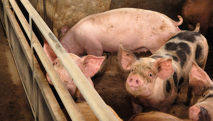Swine flu can be spread to humans by sick animals.