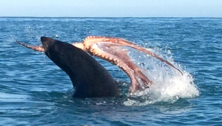 An octopus and seal fight to the death off the coast of New Zealand. (Courtesy of Caters News)