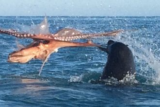 CATERS_SEAL_VS_OCTOPUS_02