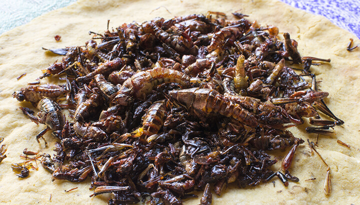 Crickets are one paleo cuisine high in protein.