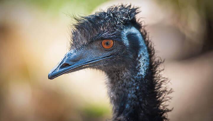 Emu oil contains essential fatty acids and vitamins.