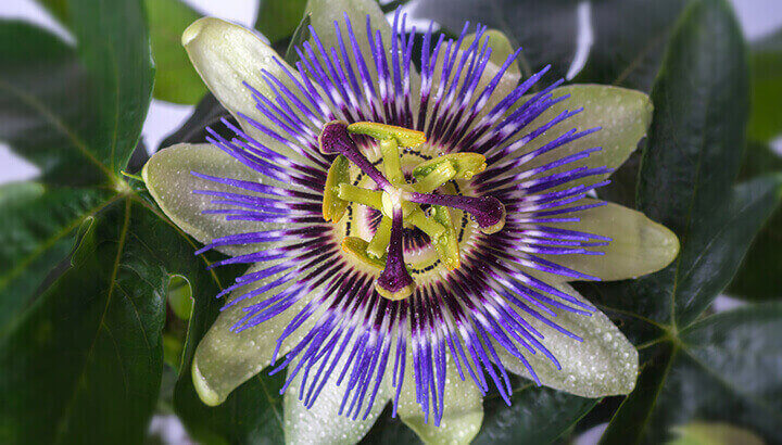 Research shows that passionflower is effective for generalized anxiety disorder
