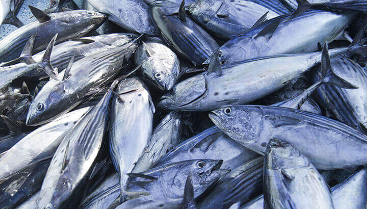Canned tuna may come from fishing with FADs, which is destroying precious ecosystems.