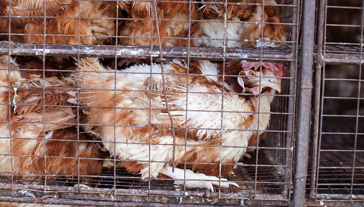 Most birds that get turned into mechanically separated poultry come from factory farms.