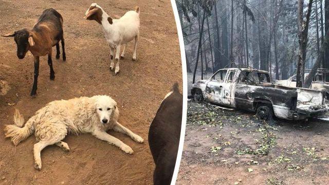 dog saves goats