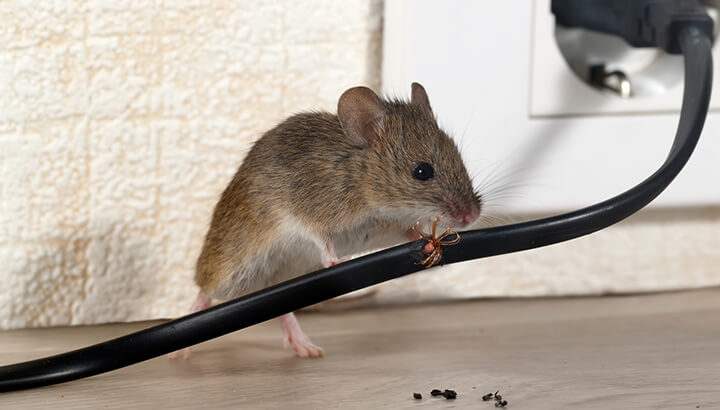 Critter Problems 4 Home Remedies To Get Rid Of Mice Naturally